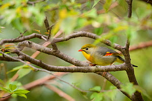 Red-billed leiothrix (Leiothrix lutea) perched on branch Tangjiahe Nature Reserve, Sichuan, China.  -  Wayne Wu Ying / Wild Wonders of China