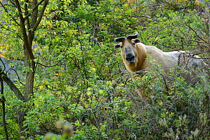 Takin (Budorcas taxicolor) in forest, Tangjiahe Nature Reserve, Sichuan, China.  -  Wayne Wu Ying / Wild Wonders of China