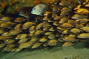 School of Striped grunters (Pomadasys striatus) with two Bronze breams (Pachymetopon grande) Kwazulu-Natal, South Africa.  -  Pascal Kobeh