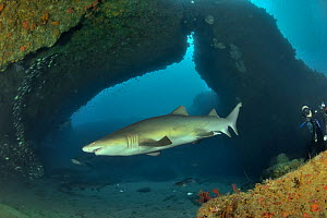 Sand tiger / grey nurse sharks (Carcharias taurus) on the reef of Aliwal shoal with a diver in the background, Kwazulu-Natal, South Africa  -  Pascal Kobeh