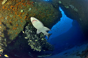 Sand tiger / Grey nurse sharks (Carcharias taurus) on the reef of Aliwal shoal with a school of striped grunters (Pomadasys striatus) Kwazulu-Natal, South Africa  -  Pascal Kobeh