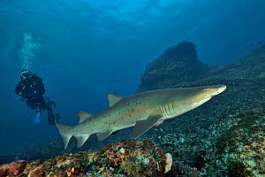 Sand tiger / Grey nurse shark (Carcharias taurus) on the reef of Aliwal shoal with a diver in the background. Kwazulu-Natal, South Africa  -  Pascal Kobeh