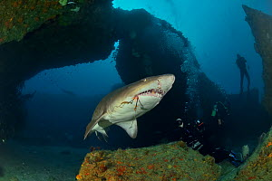 Ragged tooth / Sand tiger shark (Carcharias taurus) with hook caught in mouth, Kwazulu-Natal, South Africa.  -  Pascal Kobeh