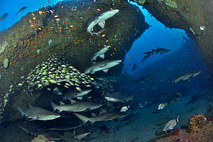 Ragged tooth / Sand tiger sharks (Carcharias taurus) on the reef of Aliwal shoal with a school of striped grunters (Pomadasys striatus) in the background, Kwazulu-Natal, South Africa.  -  Pascal Kobeh