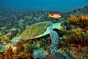 Green turtle (Chelonia mydas) feeding on the reef with a tarry or saddleback hogfish or blackspot wrasse (Bodianus bilunulatus) Kwazulu-Natal, South Africa.  -  Pascal Kobeh