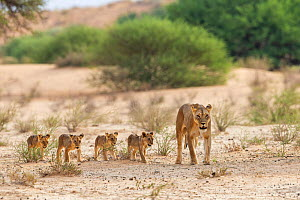 Lioness (Panthera leo) with cubs, Kgalagadi Transfrontier Park, South Africa.  -  Ann & Steve Toon