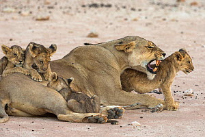 Lioness (Panthera leo) with suckling cubs, Kgalagadi Transfrontier Park, South Africa.  -  Ann & Steve Toon