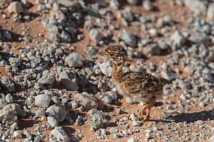 Northern black korhaan (Afrotis afraoides) chick camouflaged, Kgalagadi Transfrontier Park, South Africa.  -  Ann & Steve Toon