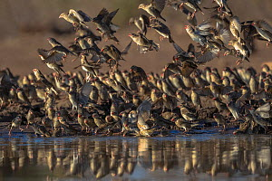 Red-billed quelea (Quelea quelea) flock at water, Mashatu game reserve, Botswana.  -  Ann & Steve Toon