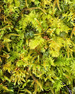 Wilson's filmy fern (Hymenophyllum wilsonii) with assorted mosses, Loch Maree, Wester Ross, Scotland, UK, May.  -  Niall Benvie