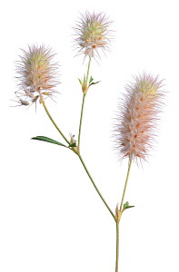 Hare's foot clover (Trifolium arvense) against white background, Burgundy, France, July.  -  Niall Benvie