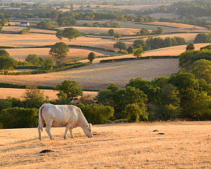 Charolais cattle in parched landscape, Le Grand Satenot, Ternant, Burgundy, France, August.  -  Niall Benvie