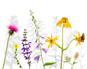 Selection of wildflowers against white background, including Thistle (Cirsium), Common rockrose (Helianthemum chamaecistus), Meadow clary (Salvia pratensis) Creeping hairbell (Campanula rapunculoides)...  -  Niall Benvie