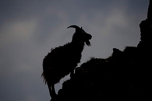 Feral goat silhouetted on rock, Islay, Argyll, Scotland  -  Niall Benvie