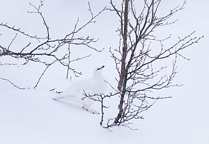RF - Rock ptarmigan (Lagopus muta) camouflaged in snow, Dimmuborgir, Iceland (This image may be licensed either as rights managed or royalty free.)  -  Niall Benvie