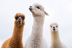 RF - Alpacas (Vicugna pacos) group of three, Newton Farm, Inverarity, Angus, Scotland, UK, May. (This image may be licensed either as rights managed or royalty free.)  -  Niall Benvie