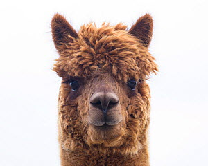 RF - Alpaca (Vicugna pacos) domestic animal, head portrait, Newton Farm, Inverarity, Angus, Scotland, UK, May. (This image may be licensed either as rights managed or royalty free.)  -  Niall Benvie