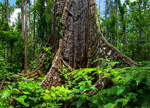 Buttress roots in rainforest. Syndicate Forest, Morne Diablotin National Park, Dominica, Lesser Antilles. 2019.  -  Derek Galon