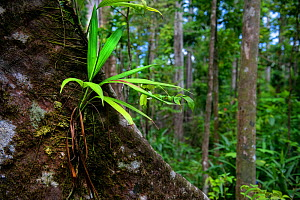 Epiphyte on buttress root in rainforest. Syndicate Forest, Morne Diablotin National Park, Dominica, Lesser Antilles.  -  Derek Galon