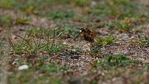 Female European beewolf (Philanthus triangulum) picking up a paraylsed honeybee that will be food for its larva before flying back to its burrow, Dorset, England.  -  Neil Aldridge