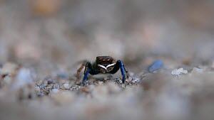 Jumping spider (Euophrys frontalis) showing its white palps walks across heathland in Dorset, England.  -  Neil Aldridge