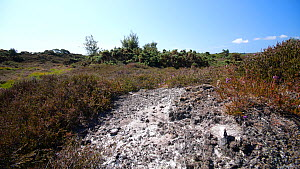 Tracking shot of a bare patch of ground in mid-summer in heathland, Dorset which is home to rare invertebrates and reptiles such as Tiger Beetles (Cicindela sylvatica) and Sand Lizards (Lacerta agilis...  -  Neil Aldridge