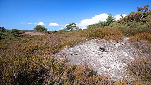Tracking shot of bare patch of ground in mid-summer in heathland, Dorset which is home to rare invertebrates and reptiles such as Tiger Beetles (Cicindela sylvatica) and Sand Lizards (Lacerta agilis)....  -  Neil Aldridge