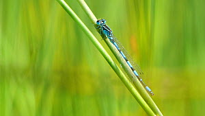Male Southern damselfly (Coenagrion mercuriale) rubbing its head while resting on a reed stem, Dorset, England.  -  Neil Aldridge