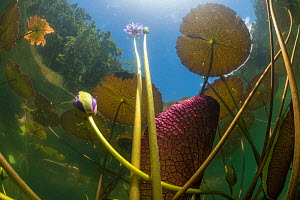 Australian water-lily (Nymphaea gigantea), view out of Lake Barrine to forest on shore and sky. Crater Lakes National Park, Wet Tropics of Queensland, Australia.  -  Juergen Freund