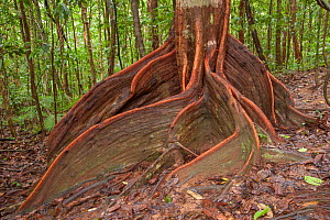 Buttress roots of tree in rainforest. Far North Queensland, Australia.  -  Jurgen Freund