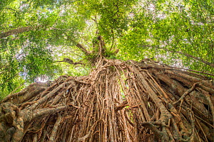 White fig (Ficus virens) tree known as Cathedral Fig aged 500 years, view from below of aerial roots looking towards canopy. Danbulla National Park and State Forest, Atherton Tablelands, Queensland, A...  -  Jurgen Freund