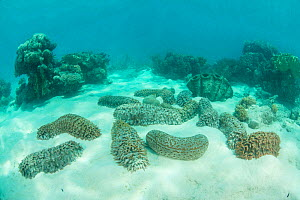 Sea cucumber (Holothuroidea) group and Giant clam (Tridacna sp) in Great Barrier Reef. Queensland, Australia.  -  Jurgen Freund