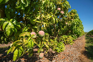 Mango orchard with varieties such as Kensington Pride, R2E2 and Brooke. Atherton Tablelands, Queensland, Australia.  -  Jurgen Freund
