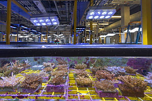 Coral native to Great Barrier Reef inside experiment tank at National Sea Simulator, biologist in background. Australian Institute of Marine Science where impacts of complex environmental changes are...  -  Juergen Freund