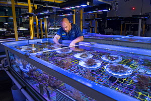Research aquarist Andrea Severeti with experiments in National Sea Simulator, fragment and spawn grown Coral from Great Barrier Reef. Australian Institute of Marine Science where impacts of complex en...  -  Juergen Freund