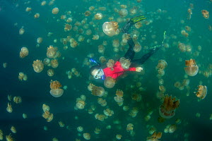 Snorkler amongst Golden jellyfish (Mastigias papua etpisoni). Millions of the jellyfish migrate horizontally across the marine lake daily. Subspecies evolved separately from species in nearby lagoons....  -  Juergen Freund