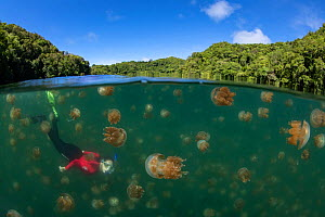 Snorkler amongst Golden jellyfish (Mastigias papua etpisoni) in marine lake, split level image with mangrove forest on shore. Millions of the jellyfish migrate horizontally across the lake daily. Subs...  -  Juergen Freund