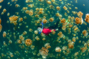 Snorkler amongst Golden jellyfish (Mastigias papua etpisoni) in marine lake. Millions of the jellyfish migrate horizontally across the lake daily. Subspecies evolved separately from species in nearby...  -  Jurgen Freund