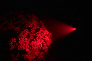 Coral reef illuminated with red light by cameraman whilst waiting for Corals to spawn. Spawn collected by Coral Larval Restoration / Coral IVF Project to rear Coral and replenish degraded areas of ree...  -  Juergen Freund