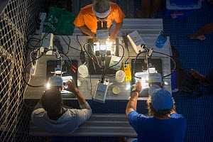 Scientists and researchers from Coral IVF project led by Southern Cross University looking down microscopes at night. Researchers scraping out reared Coral growing on settlement tiles before they can...  -  Juergen Freund