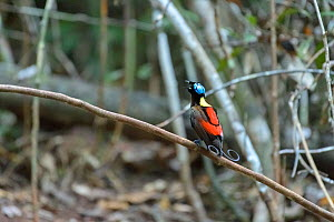 Wilson's bird-of-paradise (Cicinnurus respublica) male displaying, perched on branch in bower staging area. Raja Ampat Islands, West Papua, Indonesia.  -  Juergen Freund