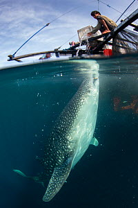 Whale shark (Rhincodon typus) feeding below bagan fishing boat, population non-migratory due to being fed by fishermen. Cenderawasih Bay, Papua, Indonesia. 2020.  -  Juergen Freund