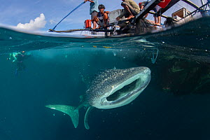 Whale shark (Rhincodon typus) feeding below bagan fishing boat, divers in background. Shark population non-migratory due to being fed by fishermen. Cenderawasih Bay, Papua, Indonesia. 2020.  -  Juergen Freund