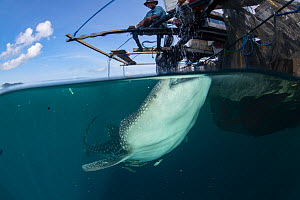 Whale shark (Rhincodon typus) feeding below bagan fishing boat, split level. From a non-migratory population fed by local fishermen. Cenderawasih Bay, Papua, Indonesia. 2020.  -  Juergen Freund