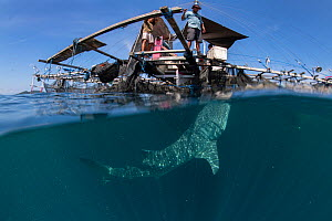 Whale shark (Rhincodon typus) feeding below bagan fishing boat, from a non-migratory population fed by local fishermen. Cenderawasih Bay, Papua, Indonesia. 2020.  -  Juergen Freund