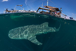 Whale shark (Rhincodon typus) below bagan fishing boat, from a non-migratory population fed by local fishermen. Cenderawasih Bay, Papua, Indonesia. 2020.  -  Juergen Freund