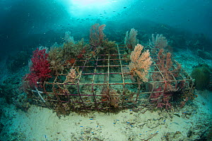 Soft coral (Alcyonacea) growing on artificial reef made from wire structure, fish in background. In area of damaged coral reef. Misool Eco Resort, Raja Ampat Islands, Indonesia. 2018.  -  Jurgen Freund
