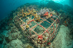 Soft coral (Alcyonacea) growing on artificial reef made from wire structure, in area of damaged coral reef. Misool Eco Resort, Raja Ampat Islands, Indonesia. 2018.  -  Jurgen Freund