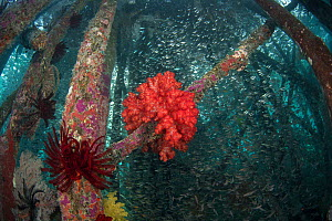 Soft coral (Alcyonacea) and Crinoids on poles of jetty acting as an artificial reef, many Glassy sweeper (Pempheris schomburgkii) fish in background. Misool Eco Resort, Raja Ampat Islands, Indonesia....  -  Juergen Freund