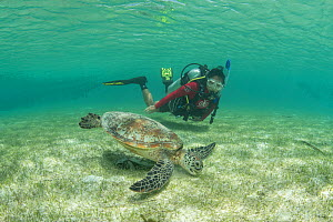 Green sea turtle (Chelonia mydas) feeding on Seagrass bed in shallow waters, diver watching in background. Misool Eco Resort, Raja Ampat Islands, Indonesia. 2018. Model released.  -  Juergen Freund